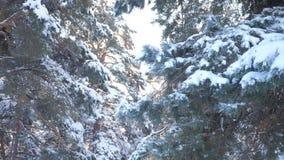 Fondo del invierno, árboles en la nieve vídeo de la cámara lenta Árbol spruce imperecedero de la Navidad con nieve fresca Pino co metrajes