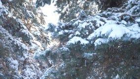 Fondo del invierno, árboles en la nieve vídeo de la cámara lenta Árbol spruce imperecedero de la Navidad con nieve fresca Pino co almacen de metraje de vídeo