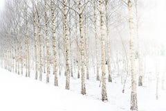 Fondo del invierno del bosque del abedul Fotos de archivo
