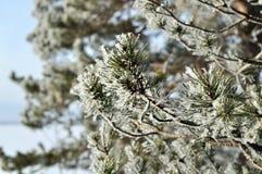 Fondo del invierno con la rama de árbol verde de pino de la Navidad en nieve Imagenes de archivo