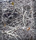 Fondo del invierno con las ramas nevadas del abedul Imagen de archivo