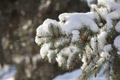 Fondo del invierno con las ramas soleadas del abeto Foto de archivo libre de regalías