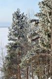 Fondo del invierno con los árboles de pino verdes de la Navidad Fotografía de archivo libre de regalías
