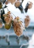 Fondo del invierno con los conos de salto escarchados Fotografía de archivo libre de regalías
