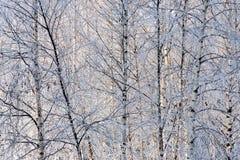 Fondo del invierno de arbustos y de árboles en birchwood Foto de archivo