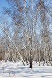 Fondo del invierno del bosque del abedul del invierno que nieva Fotos de archivo libres de regalías