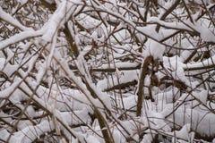 Fondo del invierno - ramas cubiertas con nieve fotos de archivo libres de regalías