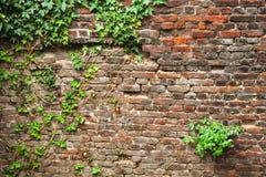 Fondo del ladrillo rojo viejo con la hiedra de arrastre verde Foto de archivo libre de regalías