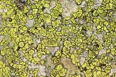 Fondo del lichene fotografia stock libera da diritti