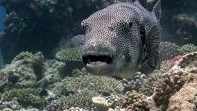 Fondo del mar subacuático de los pufferfish del primer video macro gigante del boxfish en Maldivas almacen de video