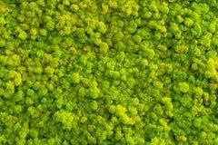 Fondo del muschio fatto del rangiferina di cladonia del lichene di renna fotografie stock