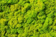 Fondo del muschio fatto del rangiferina di cladonia del lichene di renna fotografia stock