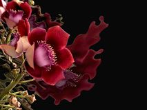 Fondo del negro de la flor del rosa, o Couroupita Guianensis fotografía de archivo