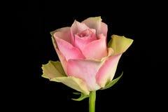 Fondo del nero della rosa di bianco e di rosa Fotografie Stock