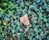 Fondo del otoño con la hierba verde en escarcha y una hoja muerta Foto de archivo libre de regalías
