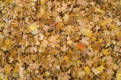 Fondo del otoño con las hojas amarillas caidas imagenes de archivo