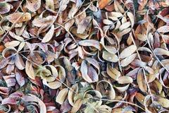 Fondo del otoño con las hojas congeladas caidas Imagen de archivo