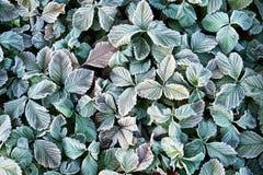 Fondo del otoño con las hojas congeladas verdes en escarcha Imagen de archivo libre de regalías