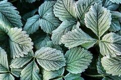 Fondo del otoño con las hojas congeladas verdes en escarcha Foto de archivo
