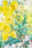 Fondo del otoño con las hojas del abedul amarillo Foto de archivo libre de regalías