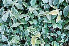 Fondo del otoño con las hojas del verde en escarcha Foto de archivo libre de regalías