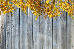 Fondo del otoño El abedul iluminado por el sol ramifica con las hojas amarillas en el fondo de la pared de viejos tableros de mad Foto de archivo libre de regalías
