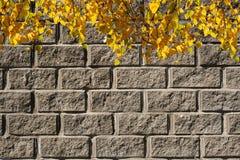 Fondo del otoño El colgante del abedul iluminado por el sol superior ramifica con las hojas amarillas en fondo de la pared de lad Imagen de archivo