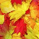 Fondo del otoño, elementos de hojas de arce Foto de archivo libre de regalías