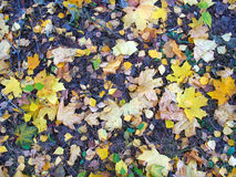 Fondo del otoño - hojas caidas en la tierra Fotografía de archivo