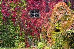 Fondo del otoño, quinquefolia del Parthenocissus Foto de archivo