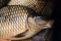 Fondo del pesce della carpa Fotografia Stock Libera da Diritti