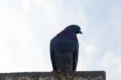 Fondo del piccione Fotografia Stock Libera da Diritti