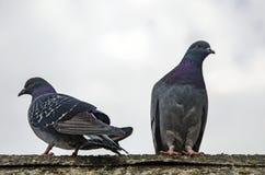 Fondo del piccione Fotografia Stock