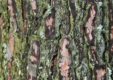 Fondo del pino Immagini Stock