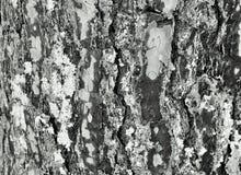 Fondo del pino Fotografia Stock Libera da Diritti