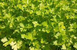 Fondo del prezzemolo (hortense del petroselinum) Immagine Stock