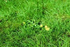 fondo del Primavera-verano algunas flores del amarillo en un césped verde claro de la hierba Foto de archivo libre de regalías