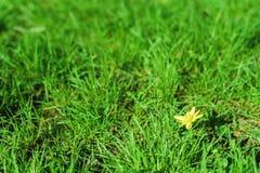 fondo del Primavera-verano algunas flores del amarillo en un césped verde claro de la hierba Imágenes de archivo libres de regalías