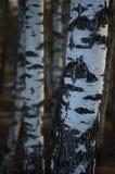Fondo del primer de la corteza de los troncos de la arboleda del árbol de abedul, escena vertical detallada grande del paisaje de Foto de archivo