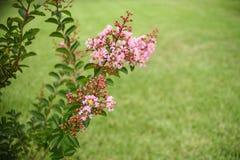 Fondo del primer de las floraciones de Myrtle de crespón fotos de archivo libres de regalías
