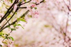Fondo del primer de maderas de Sakura Imagen de archivo