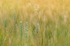 Fondo del primo piano del giacimento di grano Fotografia Stock