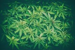 Fondo del primo piano della foglia della marijuana della cannabis Fotografie Stock Libere da Diritti