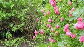 Fondo del ramo de arbusto color de rosa floreciente del rosa Fotografía de archivo libre de regalías