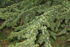 Fondo del ramo verde dell'abete con i giovani coni verdi sul Natale fotografie stock libere da diritti