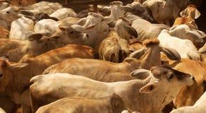 Fondo del rebaño de vacas Imagen de archivo libre de regalías