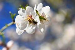 Fondo del resorte Árbol maravillosamente floreciente con una abeja Flor en naturaleza Foto de archivo