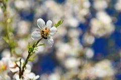 Fondo del resorte Árbol maravillosamente floreciente con una abeja Flor en naturaleza Imagen de archivo libre de regalías