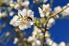 Fondo del resorte Árbol maravillosamente floreciente con una abeja Flor en naturaleza Fotografía de archivo libre de regalías