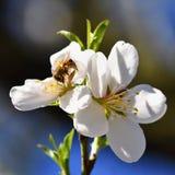 Fondo del resorte Árbol maravillosamente floreciente con una abeja Flor en naturaleza Imágenes de archivo libres de regalías